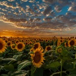 kansas-sunflower-fields-alex-zabo